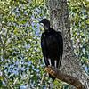 Zwarte gier; Coragyps atratus; Black vulture; Urubu noir; Rabengeier