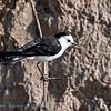 Zwartrugwatertiran; Fluvicola albiventer; Blackbacked water tyrant; Moucherolle à dos noir