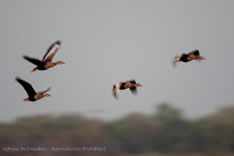 Zwartbuikfluiteend; Dendrocygna autumnalis; Blackbellied whistling duck; Dendrocygne à ventre noir; Herbstpfeifgans
