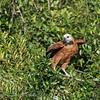Moerasbuizerd; Busarellus nigricollis; Blackcollared hawk; Buse à tête blanche; Fischbussard