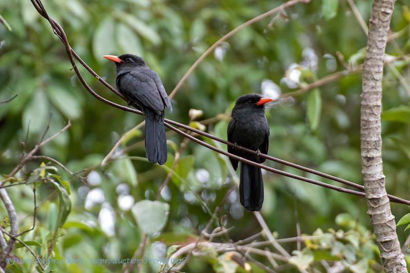 Zwartvoorhoofdtrappist; Monasa nigrifrons; Blackfronted nunbird; Barbacou unicolore; Schwarzstirntrappist