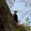 Bleekkuifspecht; Celeus lugubris; Palecrested woodpecker; Pic à tête pâle; Blassschopfspecht