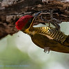 Bronsspecht; Piculus chrysochloros; Goldengreen woodpecker; Pic vertdoré