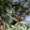 Bruinbuikheremietkolibrie; Phaethornis subochraceus; Buffbellied hermit; Ermite ocré; OckerbauchSchattenkolibri