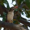 Zambië; Brownhooded kingfisher; Halcyon albiventris; Bruinkopvisvanger; Martinchasseur à tête brune; Bruinkapijsvogel; Zambia
