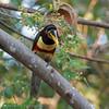 Bruinoorarassari; Pteroglossus castanotis; Chestnuteared aracari; Araçari à oreillons roux; Braunohrarassari