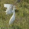 Botswana; Bubulcus ibis; Kuhreiher; Cattle Egret; Héron gardeboeuf; Koereiger; Okavango