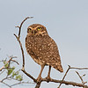 Holenuil; 2019; Athene cunicularia; Burrowing owl; Chevêche des terriers; Kaninchenkauz