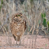 Holenuil; Athene cunicularia; Burrowing owl; Chevêche des terriers; Kaninchenkauz