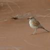 Namibië; Dune lark; Calendulauda erythrochlamys; Duinlewerik; Roodrugleeuwerik; Namib Desert; Sossusvlei