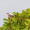 Camposspotlijster; Mimus saturninus; Chalkbrowed mockingbird; Moqueur plombé