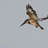 Botswana; Ceryle rudis; Pied Kingfisher; Martinpêcheur pie; Bonte Ijsvogel; Okavango