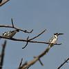 Ceryle rudis; Pied Kingfisher; Martinpêcheur pie; Bonte Ijsvogel