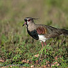 Chileense kievit; Vanellus chilensis; Southern lapwing; Vanneau téro; Bronzekiebitz
