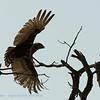 Botswana; Okavango; Brown snake eagle; Circaetus cinereus; Bruinslangarend; EinfarbSchlangenadler; Circaète brun; Bruine slangenarend