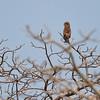 Brown Snake Eagle; Circaetus cinereus; EinfarbSchlangenadler; Circaète brun; Bruine slangenarend