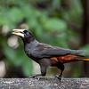 Kuiforopendola; 2019; Psarocolius decumanus; Crested oropendola; Cassique huppé; Krähenstirnvogel