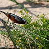 Zwartkeeldikbekje; Sporophila ruficollis; Darkthroated seedeater; Sporophile à gorge sombre