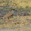 Botswana; Okavango; Crowned lapwing; crowned plover; Vanellus coronatus; Kroonkiewiet; Kronenkiebitz; Vanneau couronné; Diadeemkievit