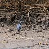 Western Reef Heron; Egretta gularis; Western ReefEgret; Westelijke Rifreiger; Aigrette à gorge blanche; Senegal; Casamance