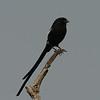Botswana; Okavango; Magpie shrike; Urolestes melanoleucus; African longtailed shrike; Langstertlaksman; Corvinelle noir et blanc; Elsterwürger; Eksterklauwier