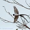 Vorkstaartkoningstiran; Tyrannus savana; Forktailed flycatcher; Tyran des savanes