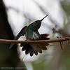 Franjeamazilia; Amazilia fimbriata; Glitteringthroated emerald; Ariane de Linné; Glitzerkehlamazilie