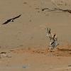 Namibië; Gabar goshawk; Micronisus gabar; Gabarhavik; Autour gabar; Namib Desert; Springbok; Waterhole; Antidorcas marsupialis; Pied Crow; Witborskraai; Schildraaf; Corbeau pie; Corvus albus