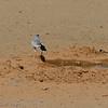 Namibië; Gabar goshawk; Micronisus gabar; Gabarhavik; Autour gabar; Namib Desert