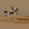 Namibië; Gabar goshawk; Micronisus gabar; Gabarhavik; Autour gabar; Namib Desert; Springbok; Waterhole; Antidorcas marsupialis