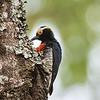 Geelbrauwspecht; Melanerpes cruentatus; Yellowtufted woodpecker; Pic à chevron d'or; Gelbbrauenspecht