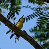 Geelbuikschoffelsnavel; Todirostrum cinereum; Common todyflycatcher; Todirostre familier