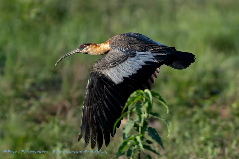 Geelhalsibis; Theristicus caudatus; Buffnecked ibis; Ibis mandore; Weißhalsibis