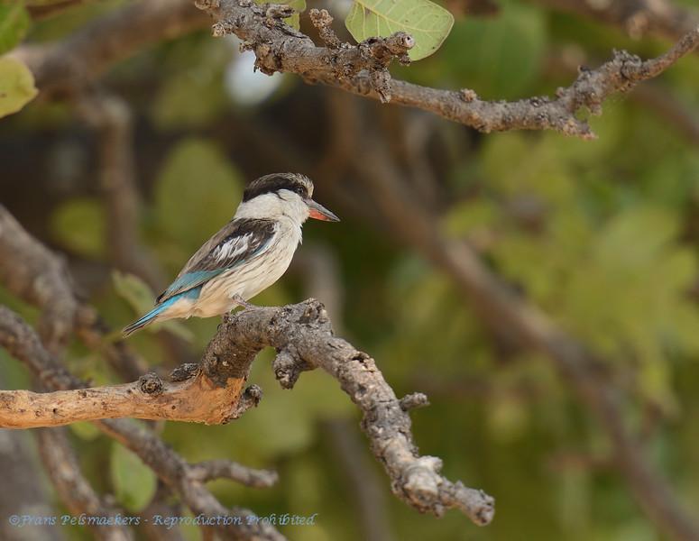 Botswana; Okavango; Striped kingfisher; Halcyon chelicuti; Gestreepte visvanger; Martinchasseur strié; Streifenliest; Gestreepte ijsvogel