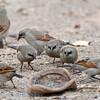 Grijze koevogel; Agelaioides badius; Grayish baywing; Carouge à ailes baies