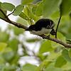 Grote mierklauwier; Taraba major; Great antshrike; Grand Batara; WeißbrustAmeisenwürger