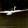 Grote zilverreiger; Ardea alba; Great egret; Grande Aigrette; Silberreiher