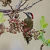 Groenbandgrondspecht; Colaptes melanochloros; Greenbarred woodpecker; Pic vert et noir; Grünbindenspecht