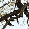 Botswana; Okavango; Green wood hoopoe; Redbilled wood hoopoe; Phoeniculus purpureus; Rooibekkakelaar; Irrisor moqueur; Groene kakelaar; Roodsnavelhop; Baumhopf