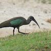 Zambië; Hadada ibis; Bostrychia hagedash; Hadeda; Hagedasch; Ibis hagedash; Hadadaibis; Zambia