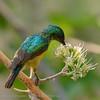 Botswana; Okavango; Collared sunbird; Hedydipna collaris; Kortbeksuikerbekkie; Halsbandhoningzuiger