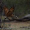 Botswana; Okavango; Hamerkop; Scopus umbretta; Hammerhead; Hammerkopf; Ombrette africaine