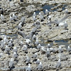 Hartlaub's gull; King gull; Chroicocephalus hartlaubii; Hartlaubse meeu; Mouette de Hartlaub; Hartlaubs meeuw; SouthAfrica