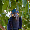 Hyacinthara; Anodorhynchus hyacinthinus; Hyacinth macaw; Ara hyacinthe; HyazinthAra
