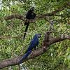 Hyacinthara; 2019; Anodorhynchus hyacinthinus; Hyacinth macaw; Ara hyacinthe; HyazinthAra
