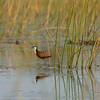 Botswana; Okavango; African jacana; Actophilornis africanus; Grootlangtoon; BlaustirnBlatthühnchen; Jacana à poitrine dorée; Lelieloper