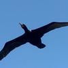 SouthAfrica; Cape cormorant; Cape shag; Phalacrocorax capensis; Trekkormorant; Kapscharbe; Cormoran du Cap; Kaapse aalscholver