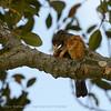 SouthAfrica; Olive thrush; Turdus olivaceus; Olyflyster; Kapdrossel; Merle olivâtre; Kaapse lijster