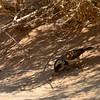 Namibië; Cape sparrow; Passer melanurus; Gewone mossie; Moineau mélanure; Kapsperling; Kaapse mus; Namib Desert