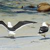 Zuid; Afrika; Kelp gull; Larus dominicanus; Dominican gull; Swartrugmeeu; Dominikanermöwe; Goéland dominicain; Kelpmeeuw; SouthAfrica